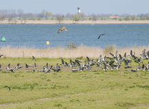 Bird fight in the air. With lapwings and kestrel royalty free stock photos