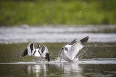 Bird fight. Pied avocet (Recurvirostra avosetta) show their dominance during a fight in the water Stock Photos
