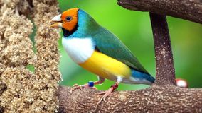 Bird, Finch, Beak, Fauna Royalty Free Stock Photography