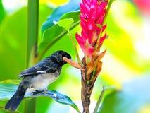 Bird, finch (Fringillidae) eating Royalty Free Stock Photography
