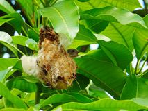 Bird in fir nest. Bird breeds in fir nest Royalty Free Stock Image