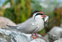 The Common Tern Sterna hirundo. Bird with fish. The Common Tern Sterna hirundo is a seabird of the tern family Sternidae Stock Photography