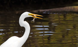 Bird and fish White Egret Stock Image