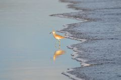 Bird fishing, Playa El Espino Royalty Free Stock Photos