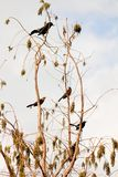 Bird: Five Boat-tailed Grackles Stock Photos