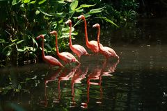 Bird flamingo Royalty Free Stock Images