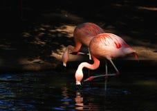 Bird flamingo. 2 flamingo drink water in Zoo Stock Images
