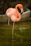Bird flamingo Stock Image