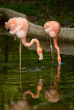 Bird flamingo Stock Images