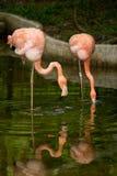Bird flamingo Stock Images