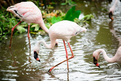 Bird Flamingo multiple combinations Royalty Free Stock Images