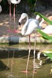 Bird flamingo Royalty Free Stock Photos