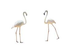 Bird flamingo walking on a white background Stock Image