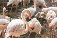 Flamingo in the Zoo Thailand Royalty Free Stock Image