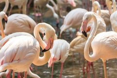 Flamingo in the Zoo Thailand Royalty Free Stock Images