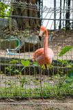 Bird,Flamingos Stock Images