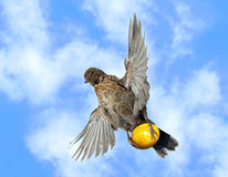 Bird flies with egg Royalty Free Stock Photography