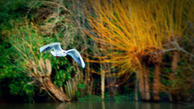 Bird flies over river. Bird flying over a river in Autumn. Note the wonderful colors in the background Stock Photo