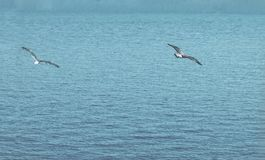 Bird flies over see. Gorgeous Flight of bird with Seagull hovers stock image