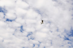 The bird flies in the sky with white clouds. The flight of seagulls. The concept of freedom and independence. The bird flies in the sky with white clouds. Flight Royalty Free Stock Photo