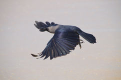 Bird flies a smoky-gray crow Stock Photo