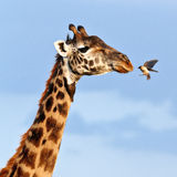 Bird flies to muzzle giraffe Stock Photos