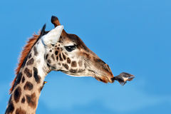 Bird flies to muzzle giraffe Royalty Free Stock Images
