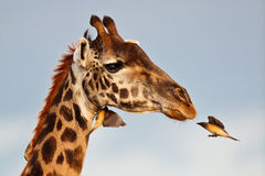 Bird flies to muzzle giraffe Stock Photo