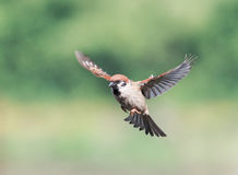 Bird  flies widely spread their feathers and wings Stock Photo