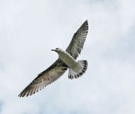 Bird in flight. A bird flying with open wings against clear sky royalty free stock photography