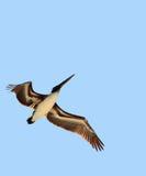 Bird in flight. Pelican in flight Stock Image