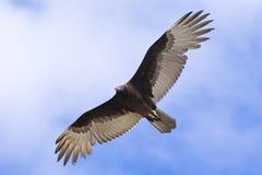 Bird in flight. Large bird in flight in the sky Stock Photo