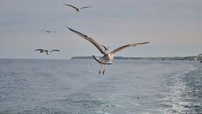 Bird in flight. Bird on rise above the sea royalty free stock photo