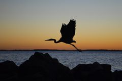 Bird in Flight. This is a picture of a crane taking flight at a Maryland beach at sunrise Royalty Free Stock Photo