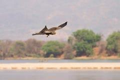 Bird in flight. Black kite bird in flight fishing, Zambia Royalty Free Stock Photography