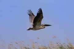 Bird in flight Royalty Free Stock Images