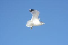 Bird in Flight. A flying seagull stock images