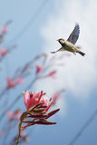 Bird in flight against bright blue spring background Royalty Free Stock Photo
