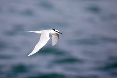 Bird in flight -  Back-naped Tern Stock Photos