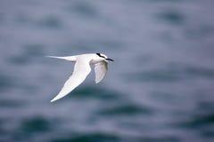 Bird in flight -  Back-naped Tern Stock Photos