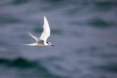 Bird in flight -  Back-naped Tern Royalty Free Stock Photo