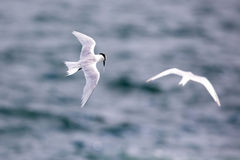 Bird in flight -  Back-naped Tern Royalty Free Stock Images