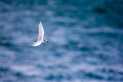 Bird in flight -  Back-naped Tern Stock Images