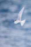Bird in flight -  Back-naped Tern Stock Image