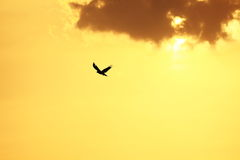 Bird in flight. Beautiful View of bird in flight as sun sets Stock Image