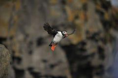 Bird in flight deadlock Royalty Free Stock Image
