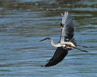 Bird in flight fishing a river heron Royalty Free Stock Photos