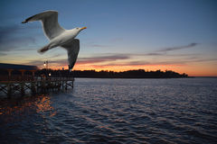 Bird in flight. A bird flying over the ocean at sunset Royalty Free Stock Images