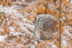 Bird in flight. Great Grey Owl, Strix nebulosa, flying in the forest, blurred autumn trees with first snow in background. Wildlife. Animal scene from nature stock photography