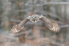 Bird in flight. Great Grey Owl, Strix nebulosa, flying in the forest, blurred autumn trees with first snow in background. Wildlife. Animal scene from nature royalty free stock photo